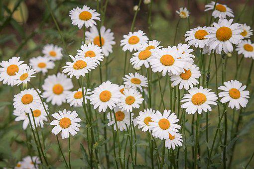 Daisies, Flower Meadow, White