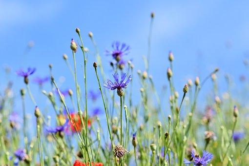 Alpine Cornflower, Centaurea Montana