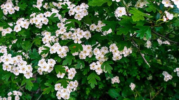 Blumen, Strauch, Weißdorn, Weiße Blumen
