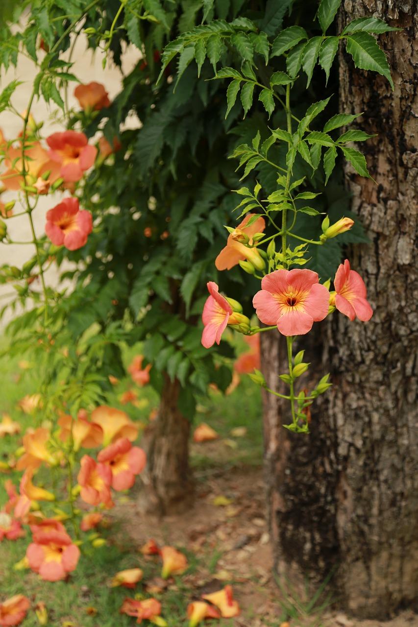 Campsis Jacaranda Trees Flowers Free Photo On Pixabay