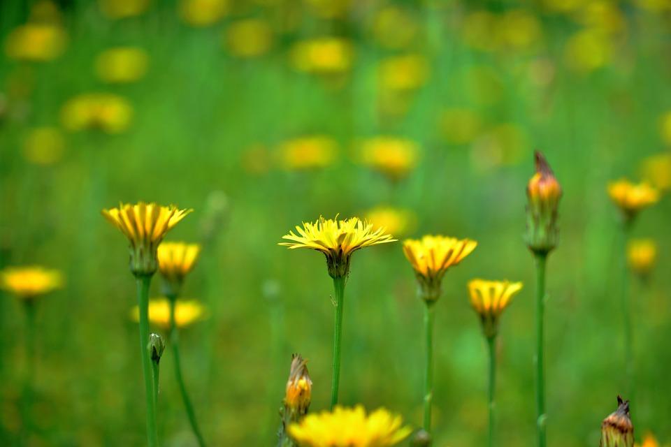 Fiori Di Campo Gialli.Fiori Di Campo Giallo Foto Gratis Su Pixabay