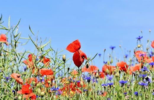 Poppy, Alpine Cornflower