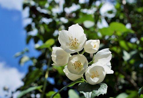 Jasmine Flower Images Pixabay Download Free Pictures