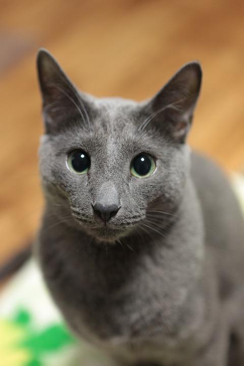 c660b1c55 Ruská Modrá Kočka Kočkovitý - Fotografie zdarma na Pixabay