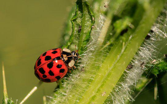 Ladybug, Asian Ladybug, A Lot Of Colored