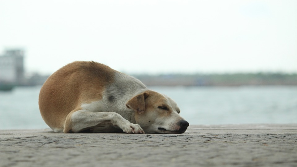 Dog, Sleep, Calm, Sea Side, Pet, Animal, Tired, Lying