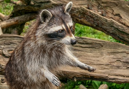 Raccoon, Animal, Nature, Mammal, Zoo