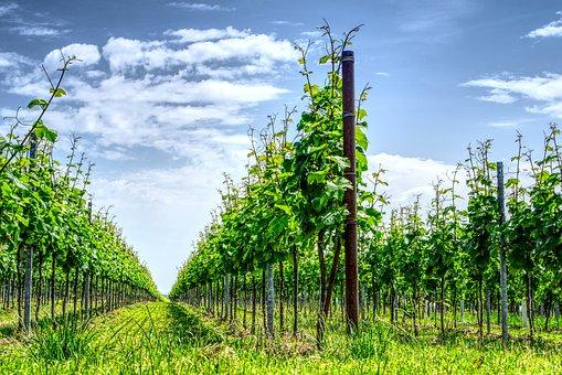 Vignoble, Vigne, Vin, Vigneron, Wingert