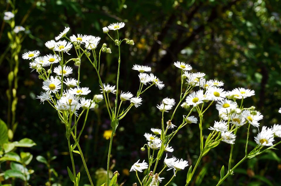 Bunga Liar Pinggir Jalan Putih Foto Gratis Di Pixabay