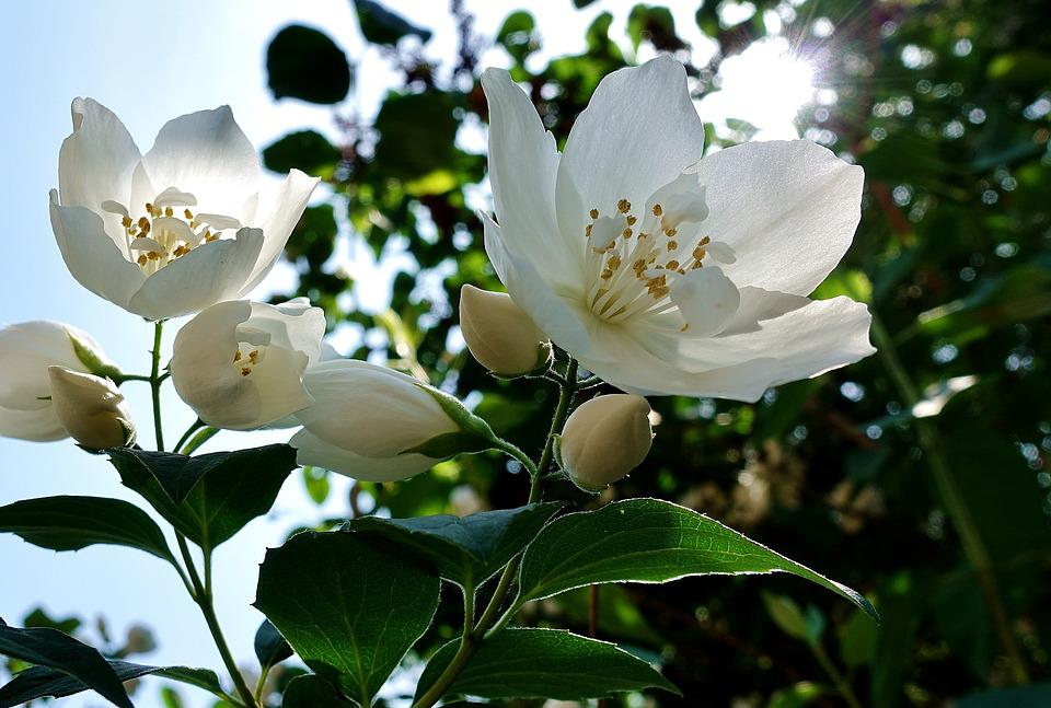 Flower, White, Jasmin, Spring, Blossom, Bloom, Nature