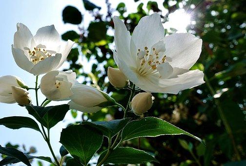 Jasmine Flower Photos Pixabay Download Free Images