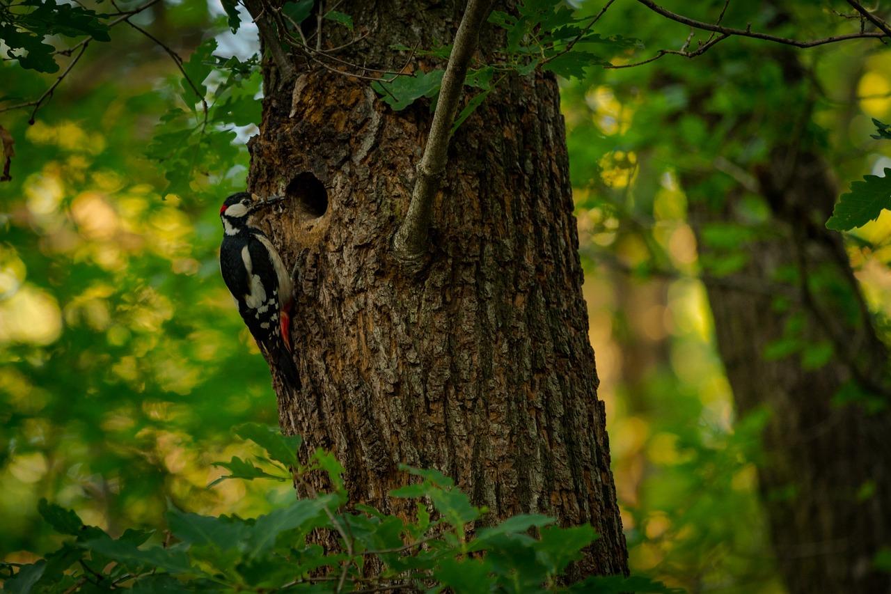 ознакомиться дятел лесной картинки вот