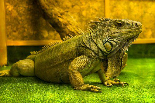 Lizard, Iguana, Reptiles, Nature, Dragon