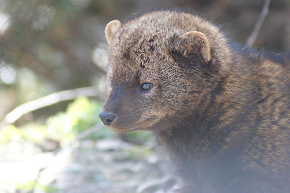Fisher, Animales, La Vida Silvestre, Mamíferos