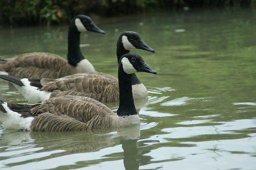 Geese, Canadian, Bird, Goose, Wildlife
