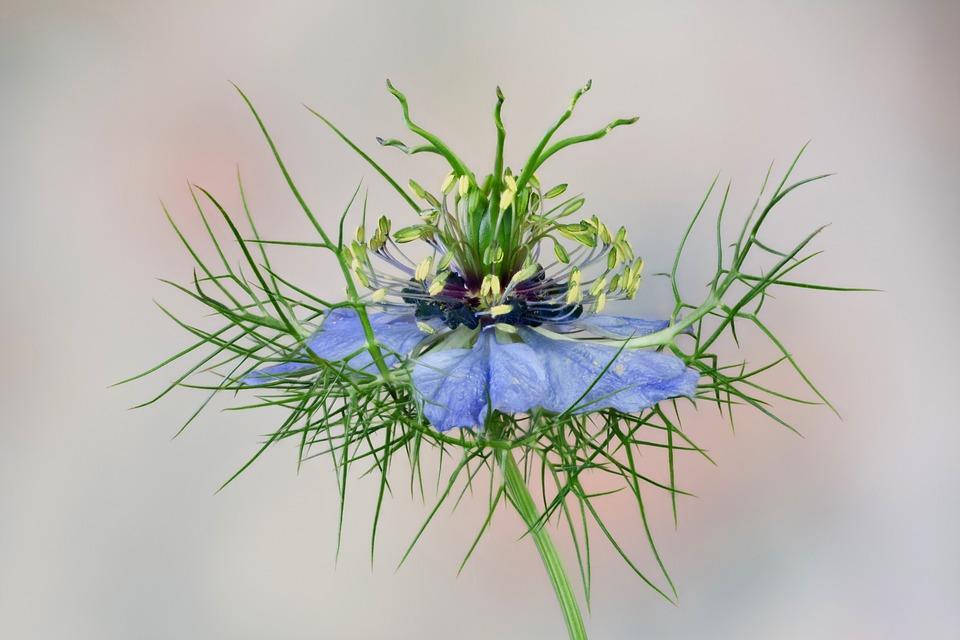 Fiore, Nigella, Blu, Pianta Da Giardino Bauer
