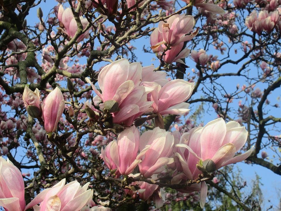 Tulip Tree Flower Free Photo On Pixabay