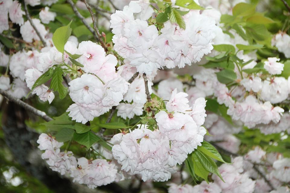 75+ Gambar Bunga Sakura Cantik Terlihat Keren