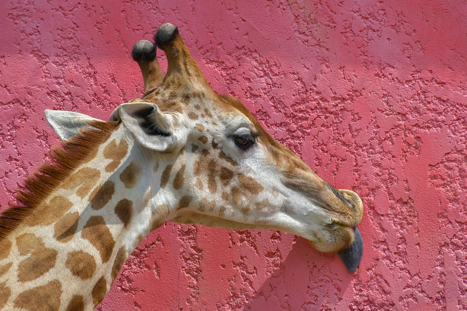 Giraffe, Head, Language, Lick, Wall, Pink, Colorful