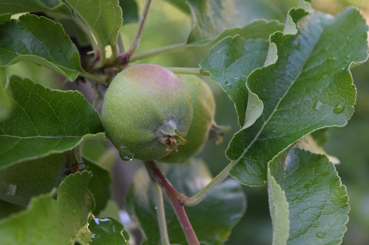 картинки листья яблоками как