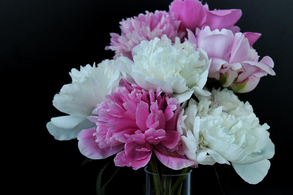 Peony, Peony Bouquet, Flowers, Black Background, Noble