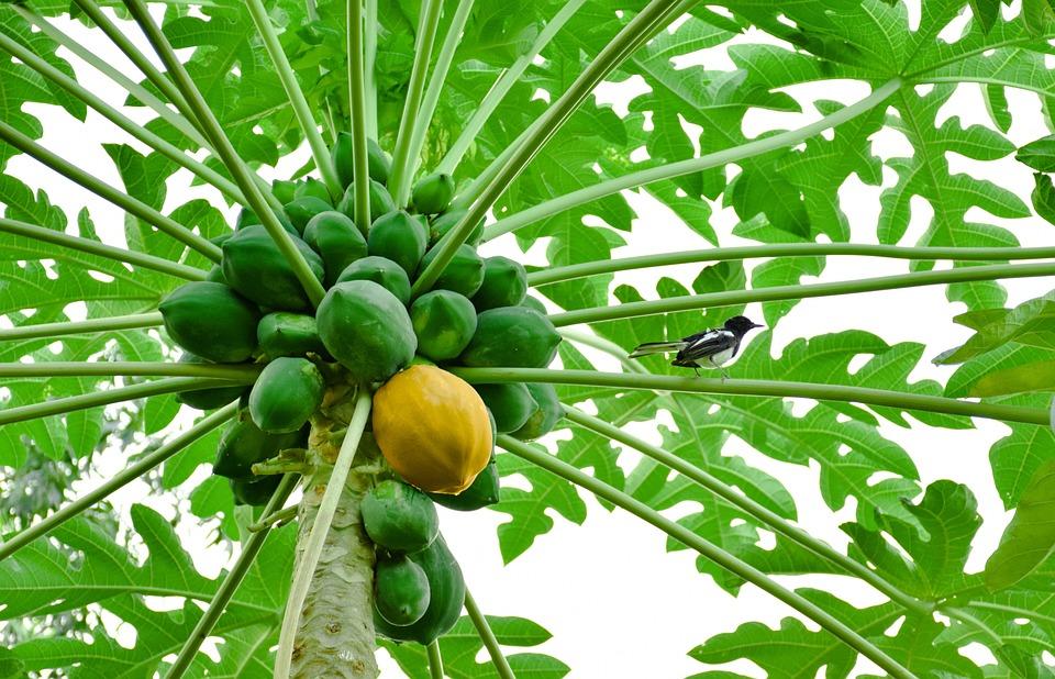 Papaya, Amarillo Papaya, Papaya Verde, Amarillo, Frutas