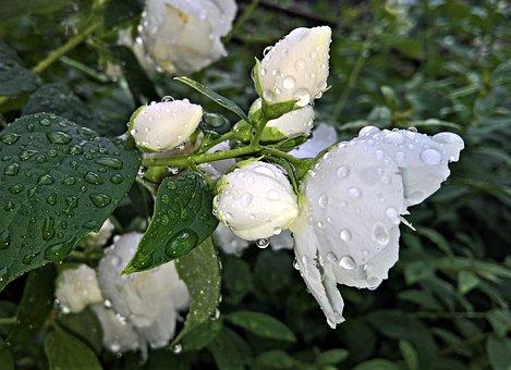 Flowers, Jasmin, Ornamental Shrub