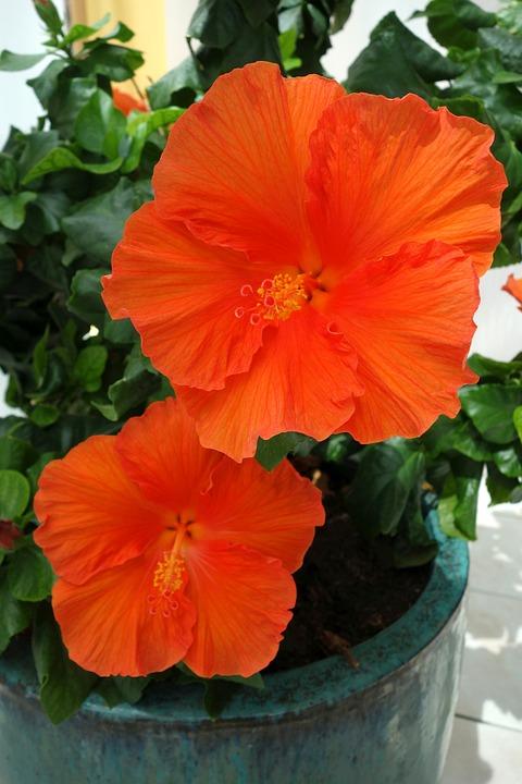 Hibiscus Plant Winter Garden Free Photo On Pixabay