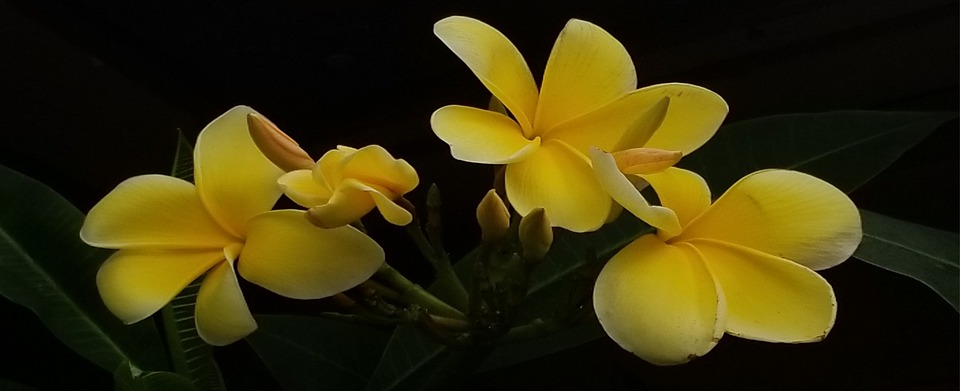 Plumeria tropical flowers yellow free photo on pixabay plumeria tropical flowers yellow yellow flowers mightylinksfo