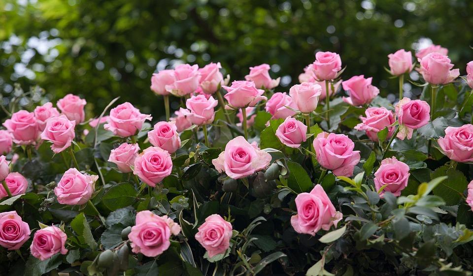 Rose fiori giardino di foto gratis su pixabay