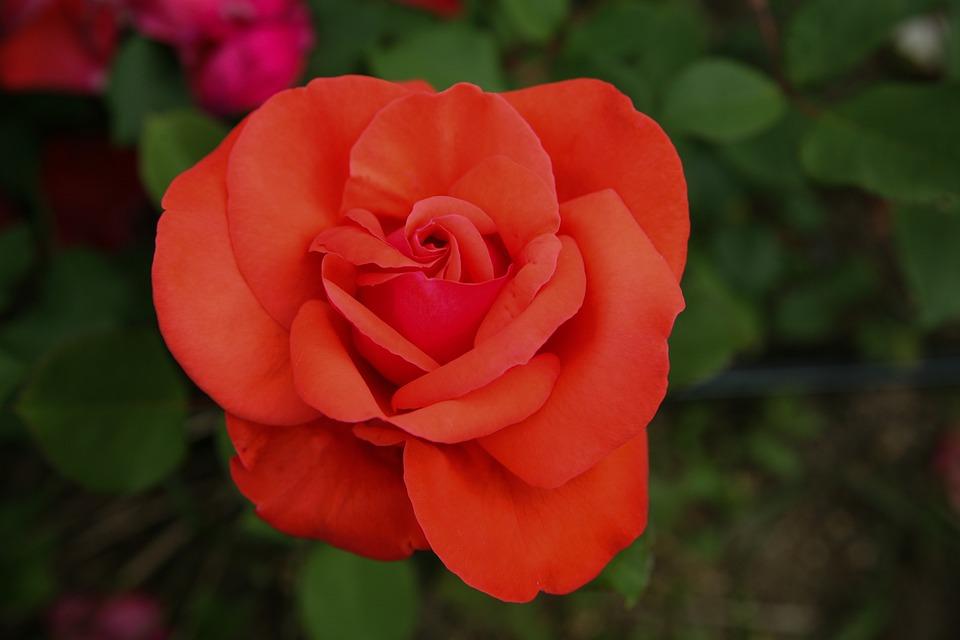 Giardino di rose foto stock thinkstock
