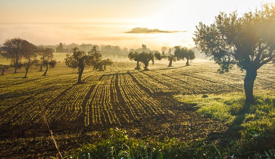 Оливковая Роща, Оливковый, Кастельфидаро, Италия, Грин