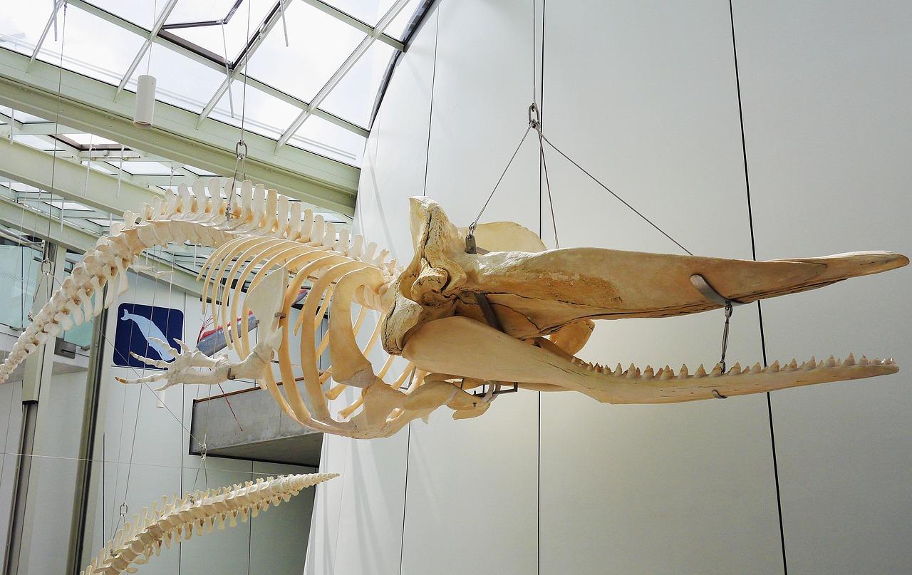 Whale Skeleton Hanging Exhibition - Free photo on Pixabay