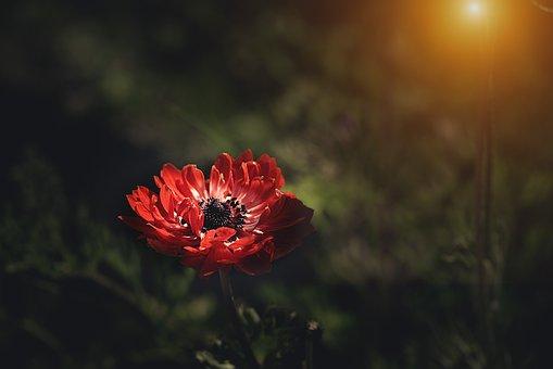 Анемон, Красный, Красный Анемон, Цветок