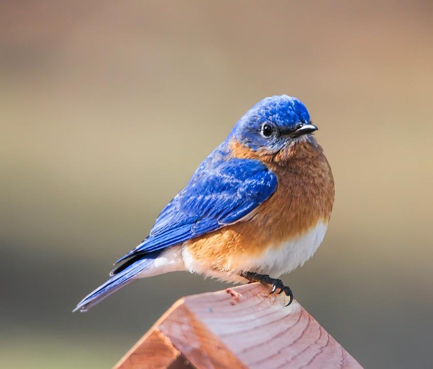 Bluebird, Eastern Bluebird, Bird, Avian, Nature