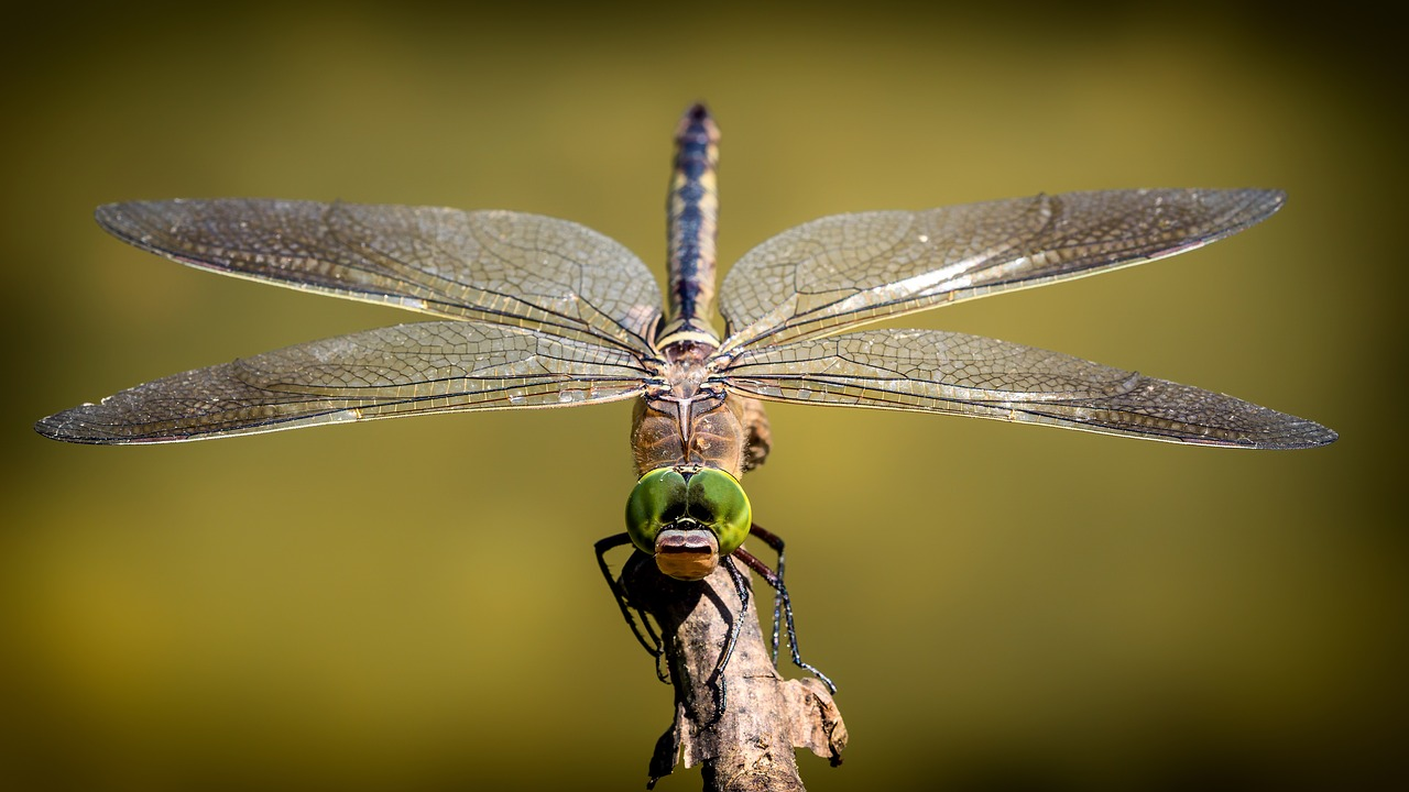 A dragonfly has a lifespan of 24 hours.