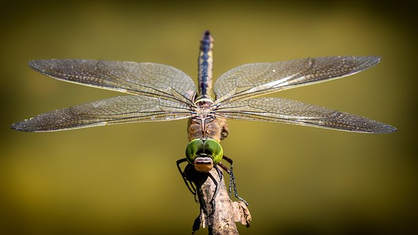 Dragonfly, Wings, Insect, Nature
