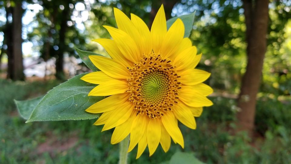 300+ Gambar Bunga Matahari Hijau HD Terbaik