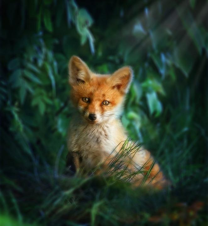 fox-red-3456545_960_720
