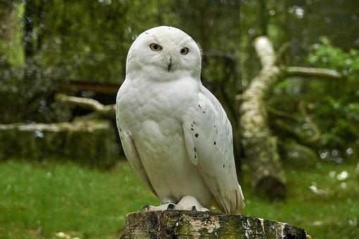 Snowy Owl, Aves, Búho, Rapaces
