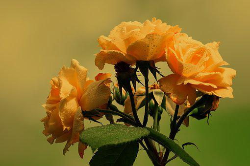 Yellow flowers images pixabay download free pictures roses bloom yellow orange flower mightylinksfo