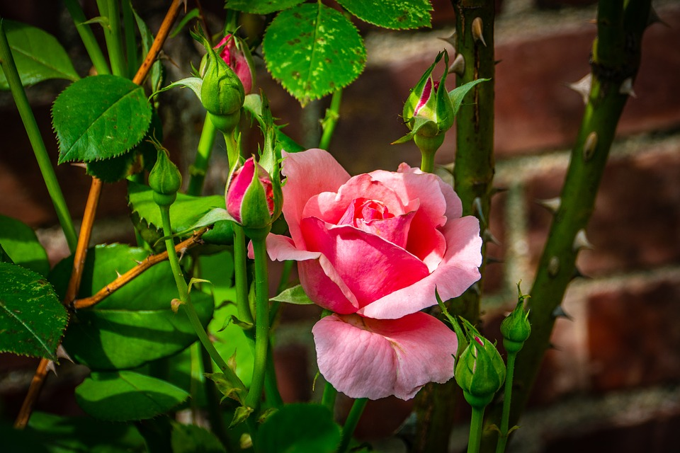 Rose pink flower free photo on pixabay rose pink flower thorn wall spring mightylinksfo