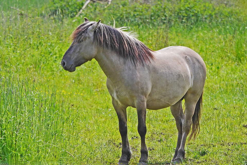Konik Wild Horse Tarpan - Free photo on Pixabay