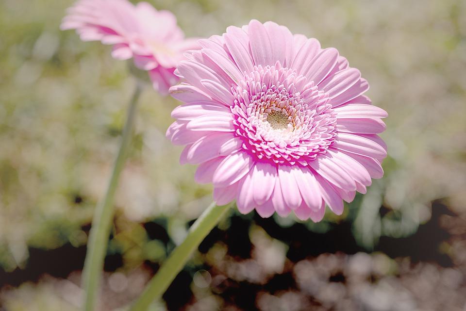 Lieblings Margerite Rosa Margeriten - Kostenloses Foto auf Pixabay #UM_75