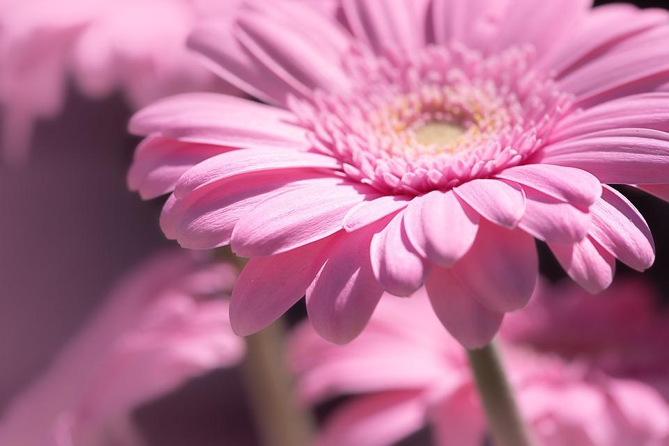Außergewöhnlich Margerite Rosa Margeriten - Kostenloses Foto auf Pixabay #TN_27