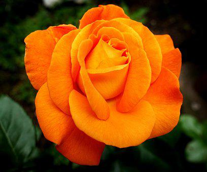 Rose, Flower, Bloom, Nature, Orange