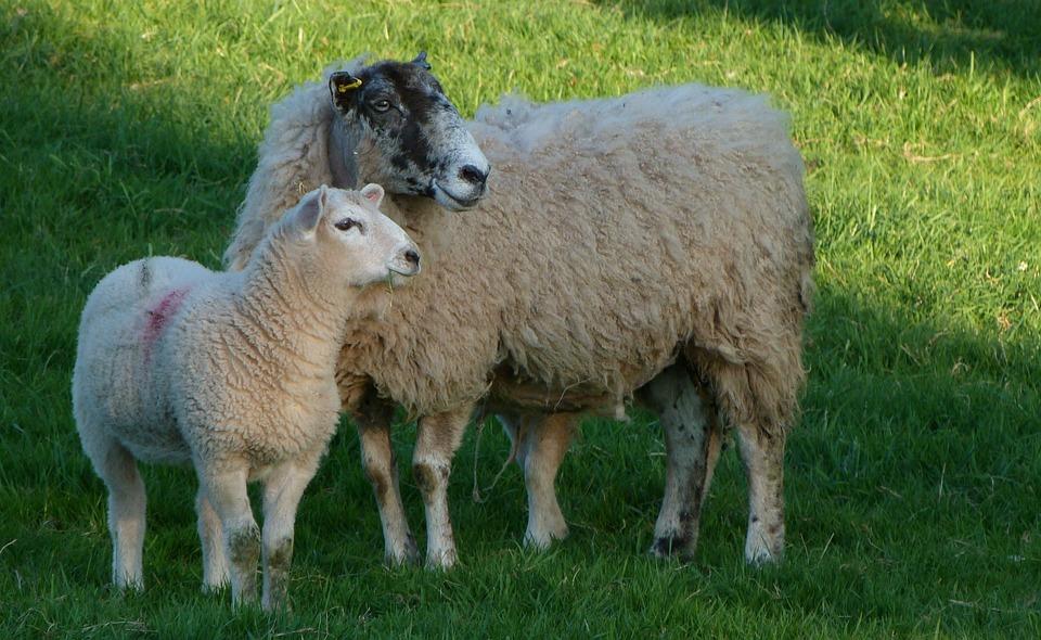 Sheep Ewe Lamb - Free photo on Pixabay