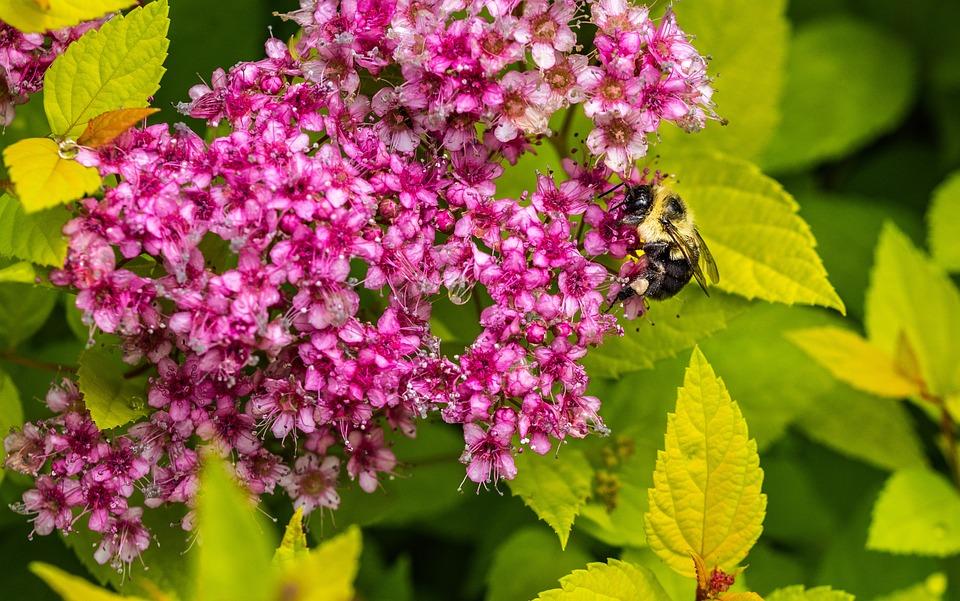 Spiraea Japonica, Japanese Spirea, Nana, Bee, Shrub