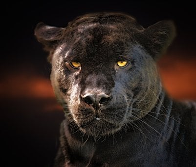 Black Panther, Jaguar, Black, Wildlife