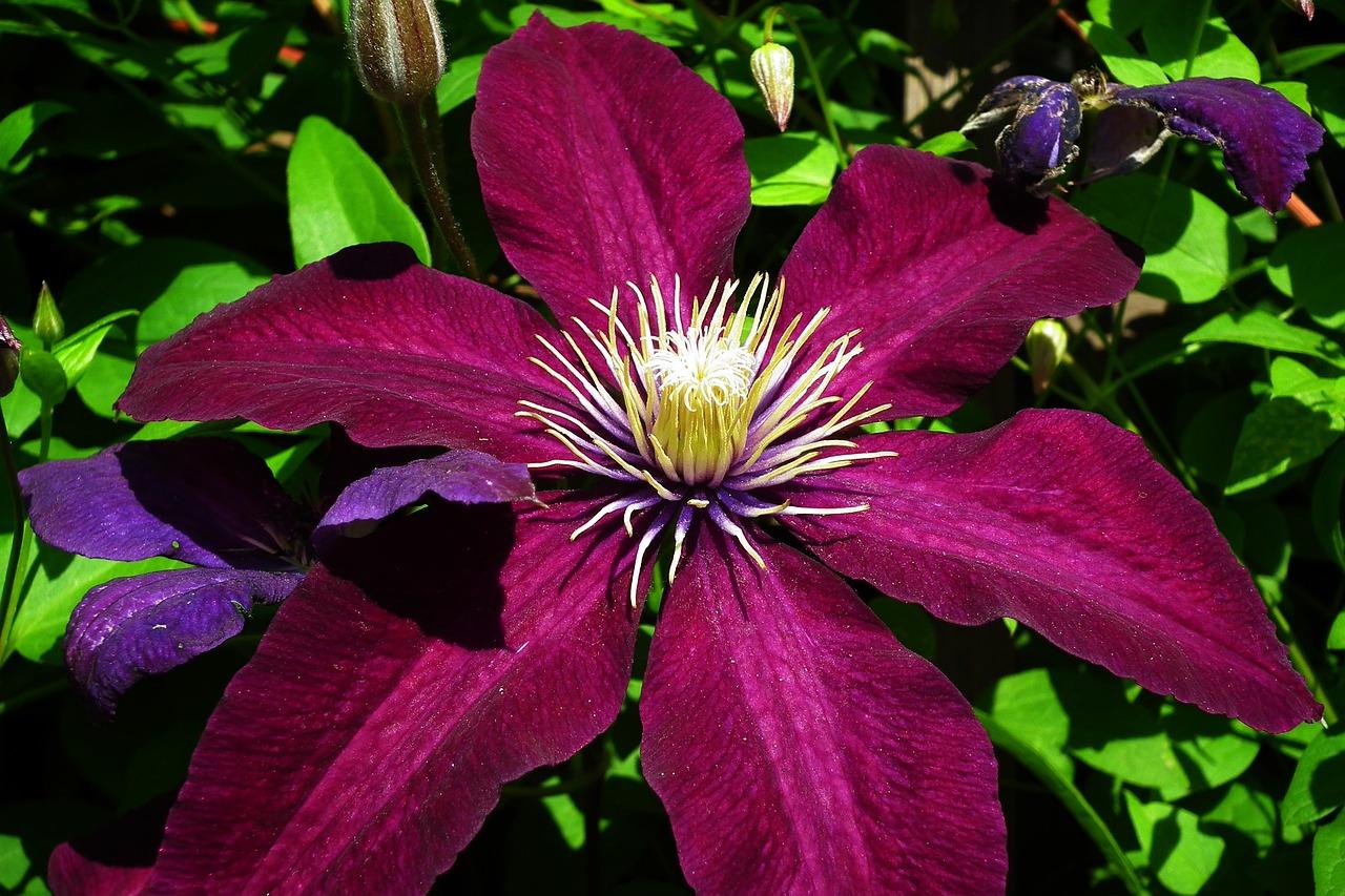 красивую дорожку фотографии цветка клематис клыки ставятся, если
